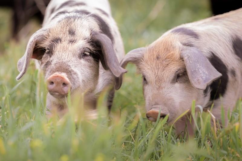 Cochons Les Agriolles